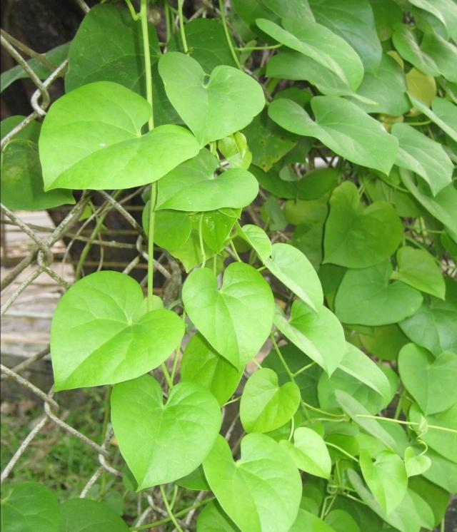 Guduchi (Tinospora Cordifolia) - Herb for Urinary ...