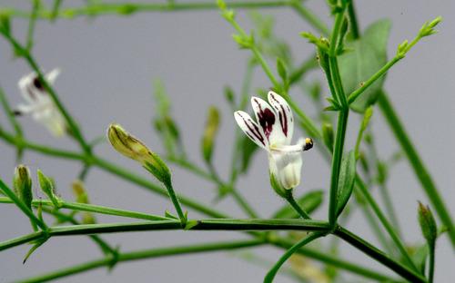 Artemisia Annua ( Artemisinin )